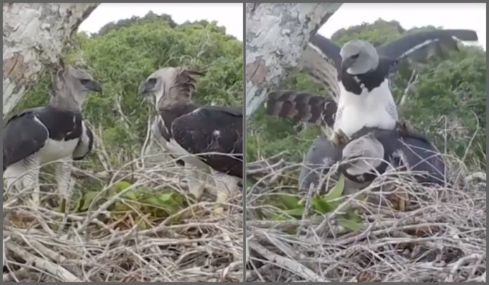 Harpias acasalando no sul da Bahia
