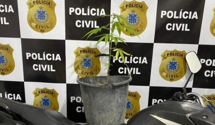 Maconha cultivada em caqueiro encontrada pela polícia em Porto Seguro