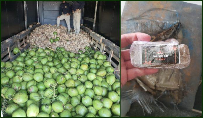 Maconha encontrada pela Polícia Rodoviária Federal (PRF)em carga de coco levada por caminhão na BR-101